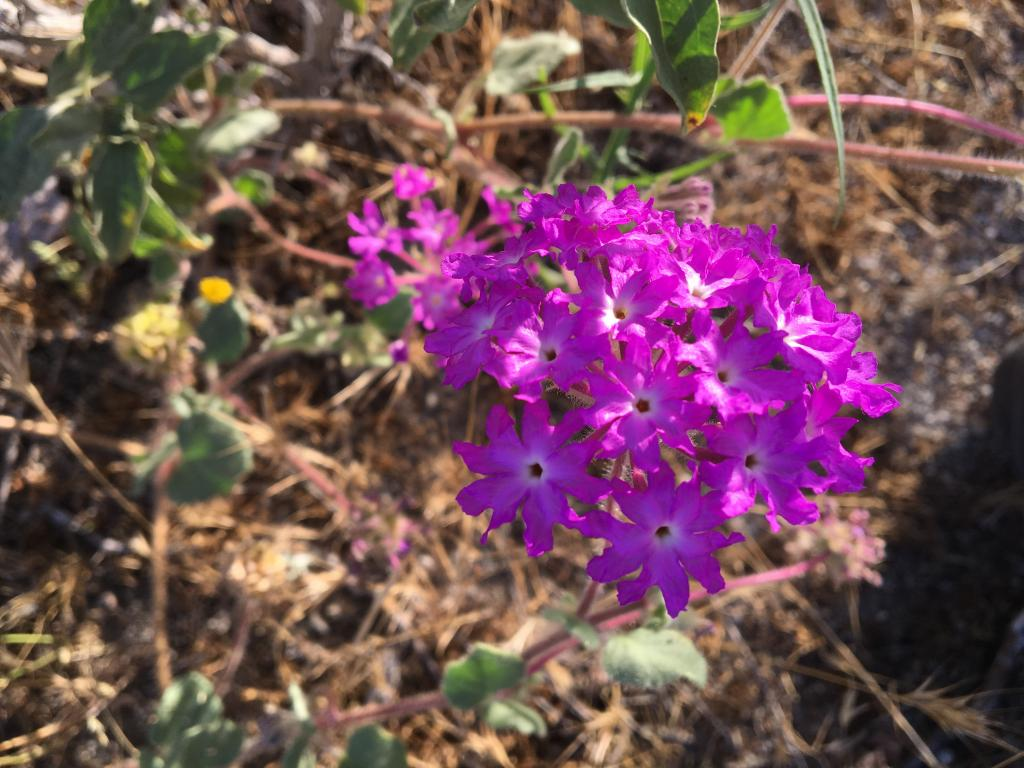 Sand verbena is one of the flashy species that thrives in alluvial flood plains.