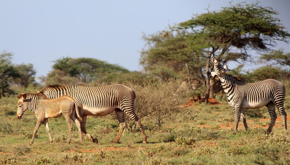 There are only about 3,000 of the endangered Grevy's zebra left in the world, so it was great to see a foal at West Gate Conservancy!