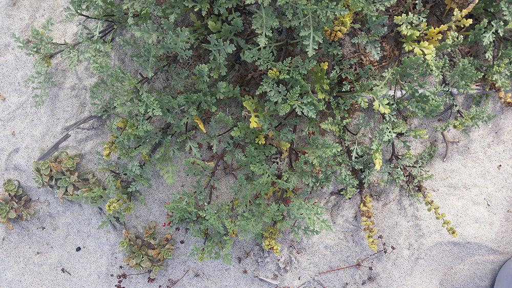 Can you spot the snowy plover chick hiding in this vegetation? Click on the image to enlarge it. (Photo: Rachel Smith, SDZG at Marine Corps Base Camp Pendleton)