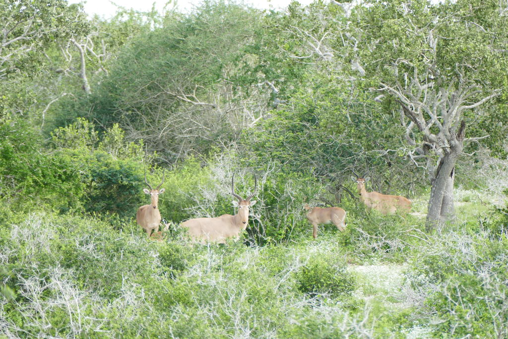 A hirola family group inside the Ishaqbini Hirola Conservancy.