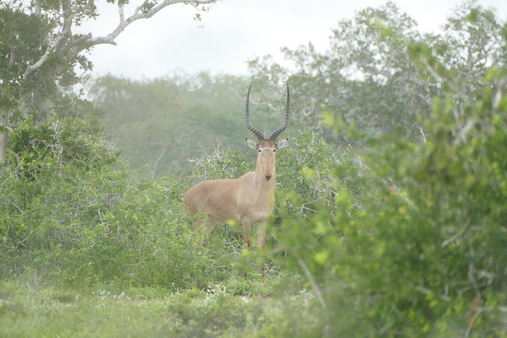 A lone male hirola outside the Ishaqbini Hirola Conservancy.