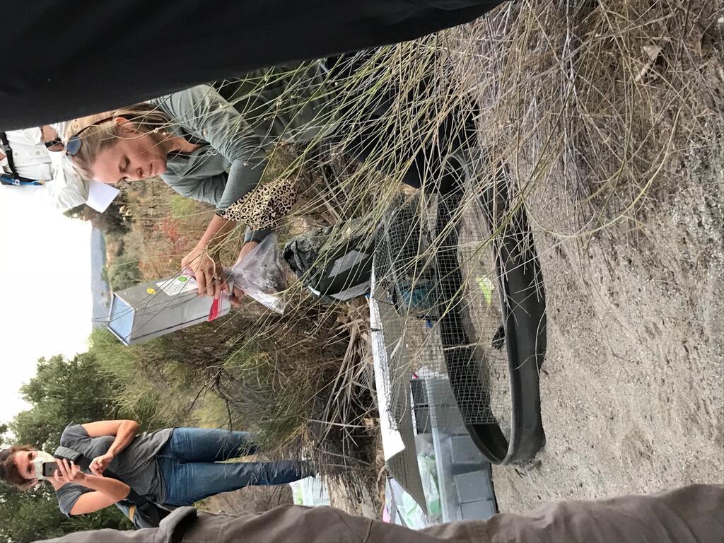 Debra Shier transferring SBKR to acclimation cage.  Photo Credit: Kim Freeburn: CDFW