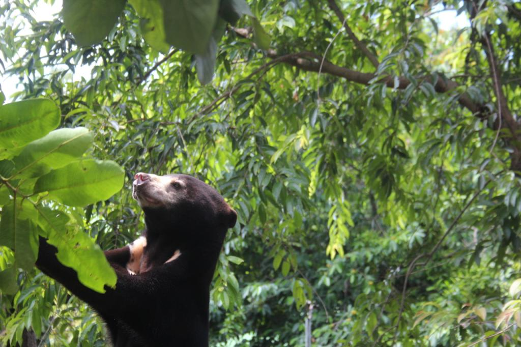 A rescued sun bear browses at the Free the Bears bear rescue center in Cambodia (picture: David O'Connor, SDZG).