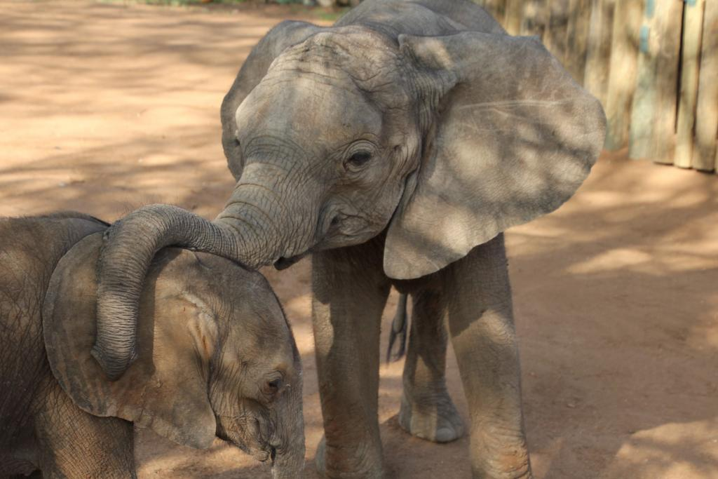 Elephants are deeply intelligent and emotional creatures. Arriving at the orphanage alone and traumatized requires a great deal of tender loving care.