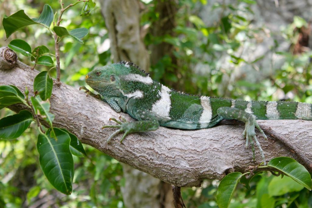 Fiji iguana. Photo by the author.