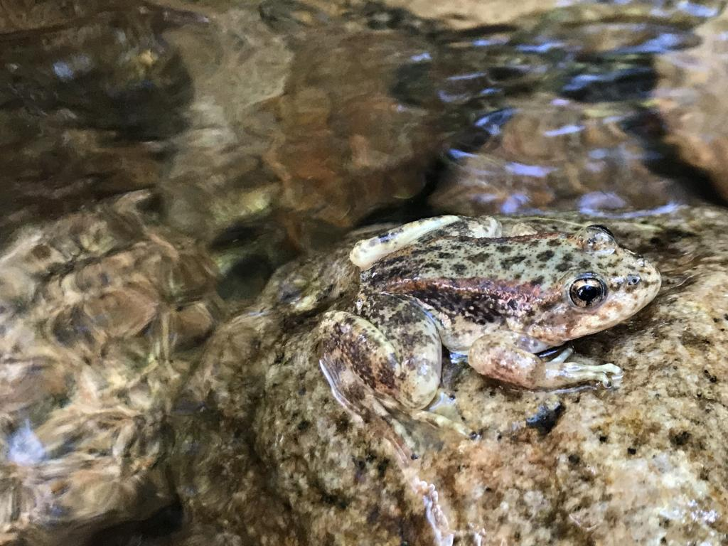A mountain yellow-legged frog immediately after release.
