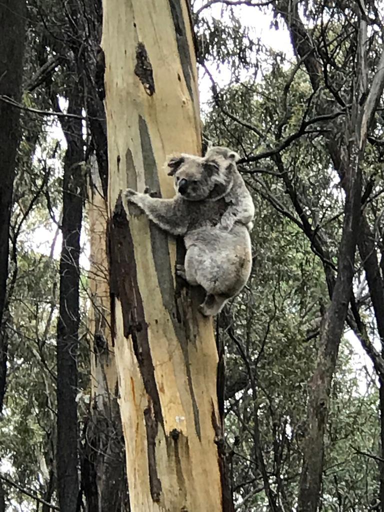 Blue Mountain koalas