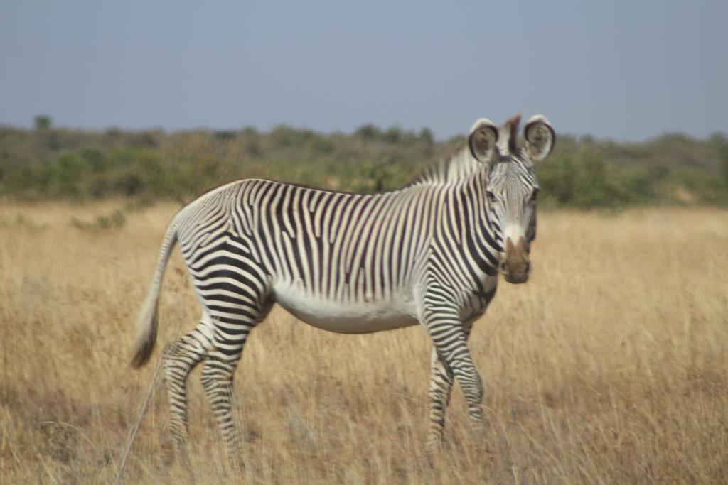 Grevy's zebra have thin, vertical stripes and a pale (unstriped) underbelly.