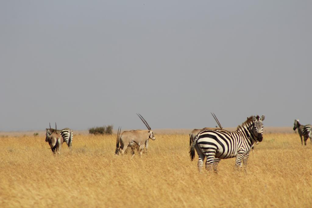 Plains zebra have thick, slanted stripes (and get along well with others!).