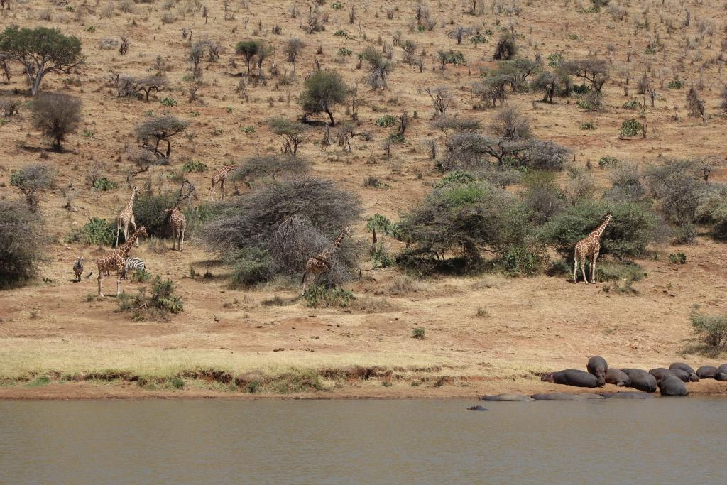 Quite a scene: a tower of giraffe, a herd of zebra, and a pod of hippos.