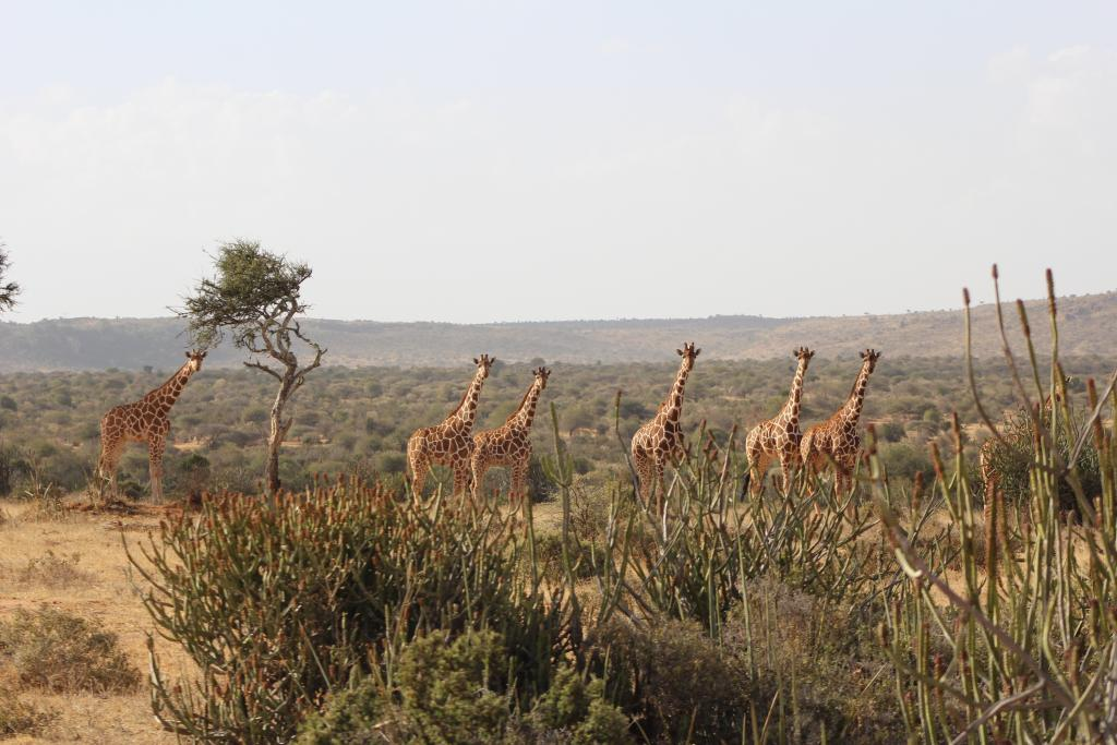 It was exciting to see one our study animals in this tower of giraffe. Can you spot the GPS unit? (It's on the one third from the right.)