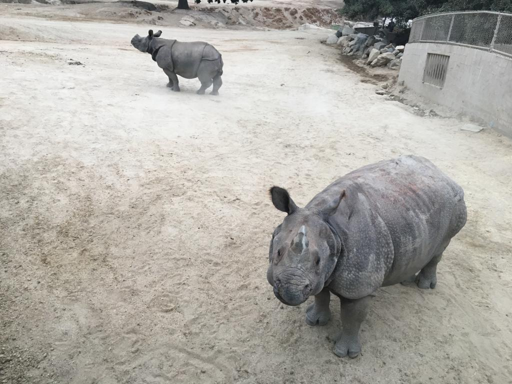 Greater one-horned rhinos during fecal collection.