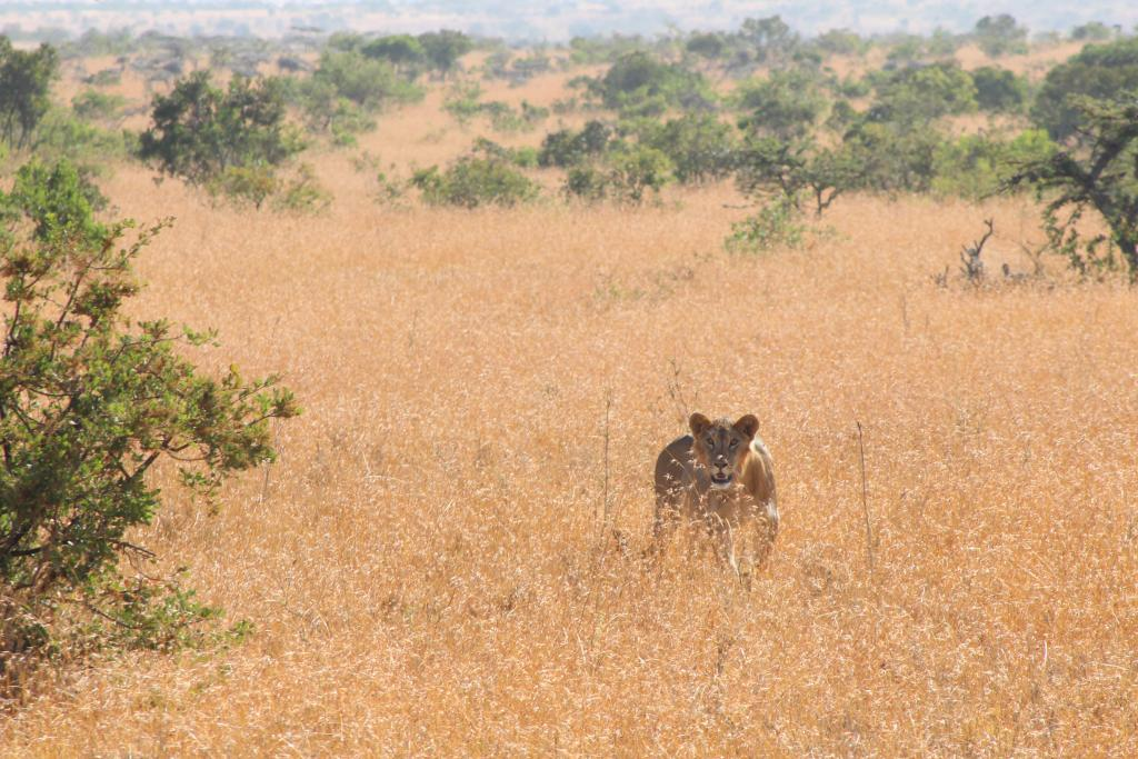 As top predators, lions are key to a healthy ecosystem. They are also thrilling to see!