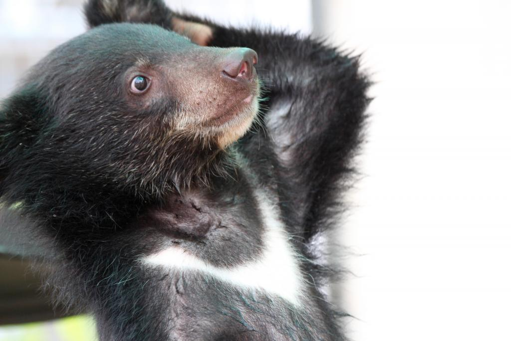 A rescued Asiatic black bear cub at the Free the Bears bear rescue center in Cambodia (picture: David O'Connor, SDZG).