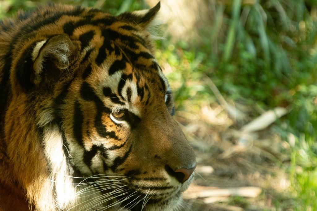 A Sumatran tiger basks in the afternoon sun at the San Diego Zoo Safari Park. Photo credit: Ishaan Raghunandan.