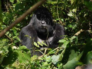 The silverback keeps a close eye on us.