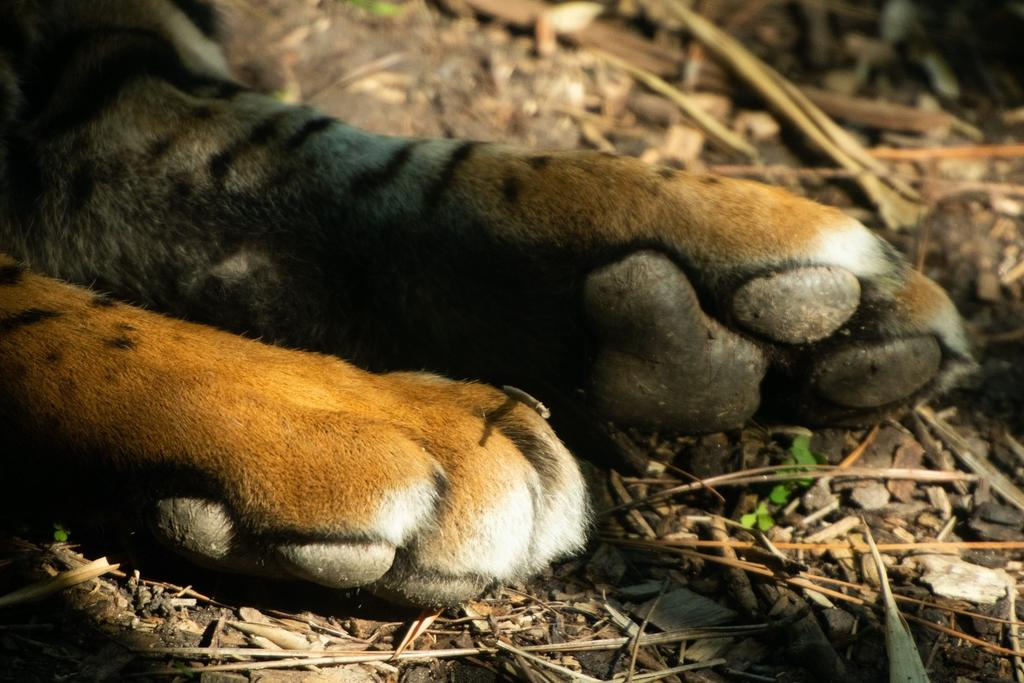 Do tigers leave behind DNA in their pugmarks? Photo credit: Ishaan Raghunandan.