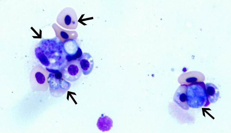 Blood cells from a raven that contain various forms of hemoparasites (arrows).