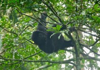 A juvenile mountain gorilla swings in the trees.