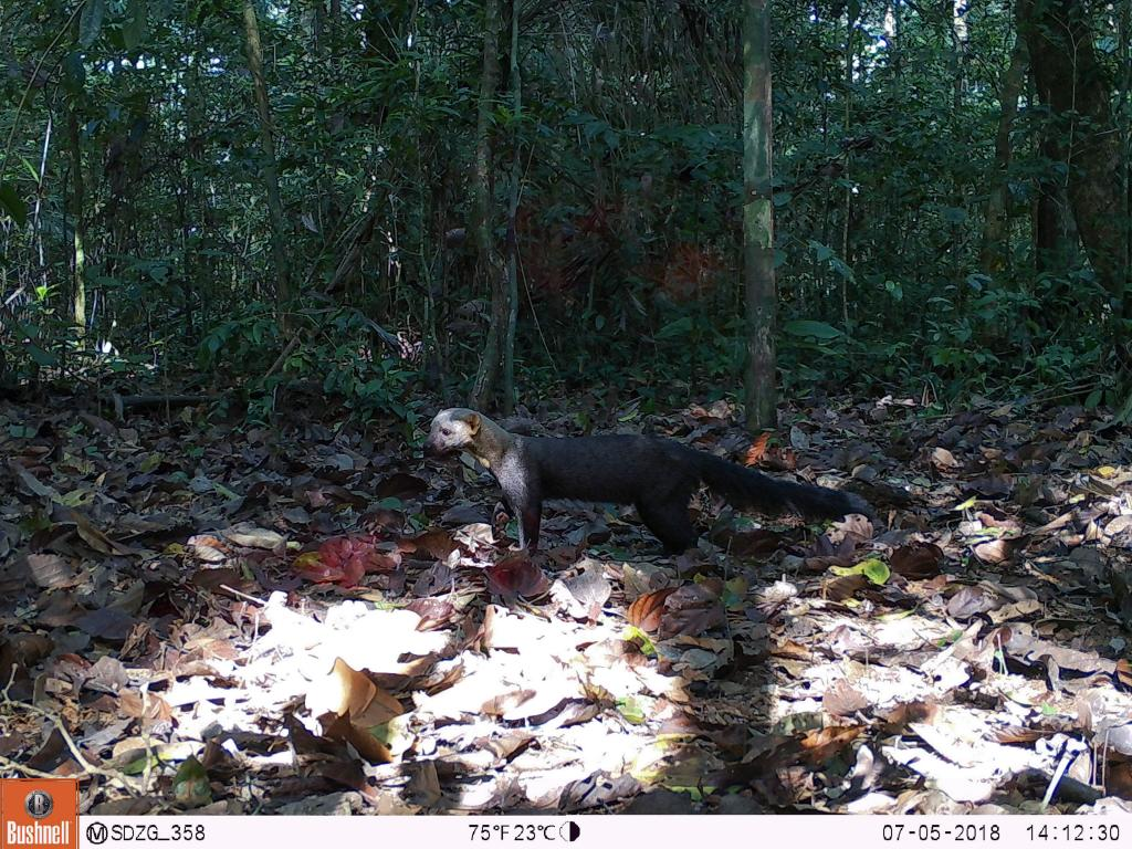 The tayra (Eira barbara) is in the same family as the marten and weasel.