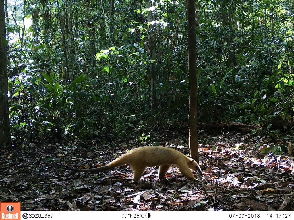 The collared anteater (Tamandua tetradactyla) mainly feeds on ants and termites.