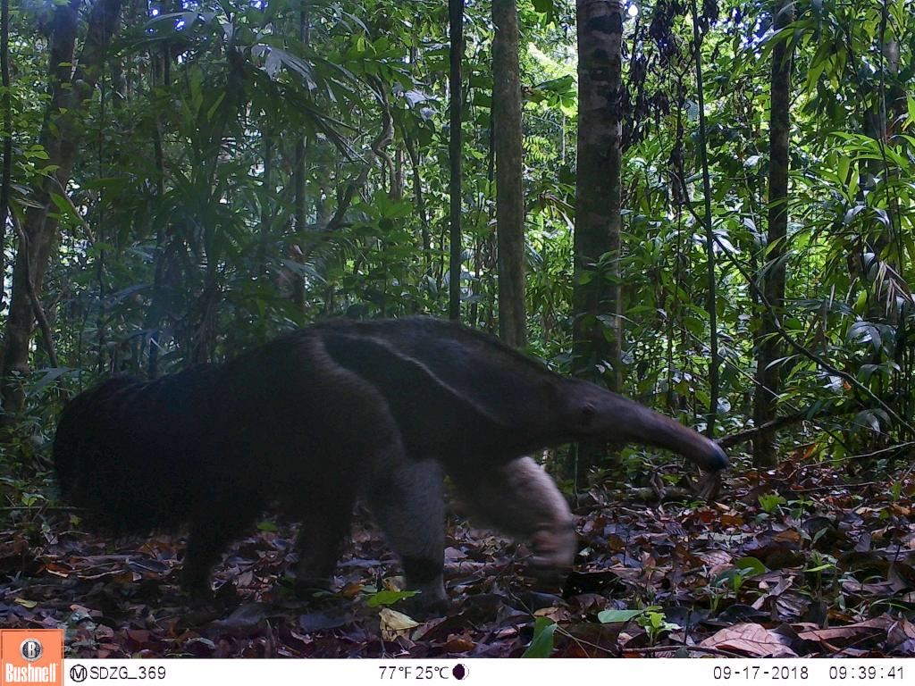 The giant anteater (Myrmecophaga tridactyla) is a much larger relative of the collared anteater. Female anteaters carry their young on their backs for 6-9 months.