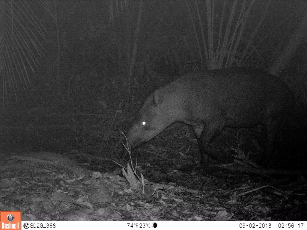 Lowland tapirs (Tapirus terrestris) are the animals in the Amazon. They are herbivores browsing on leaves and fruit.