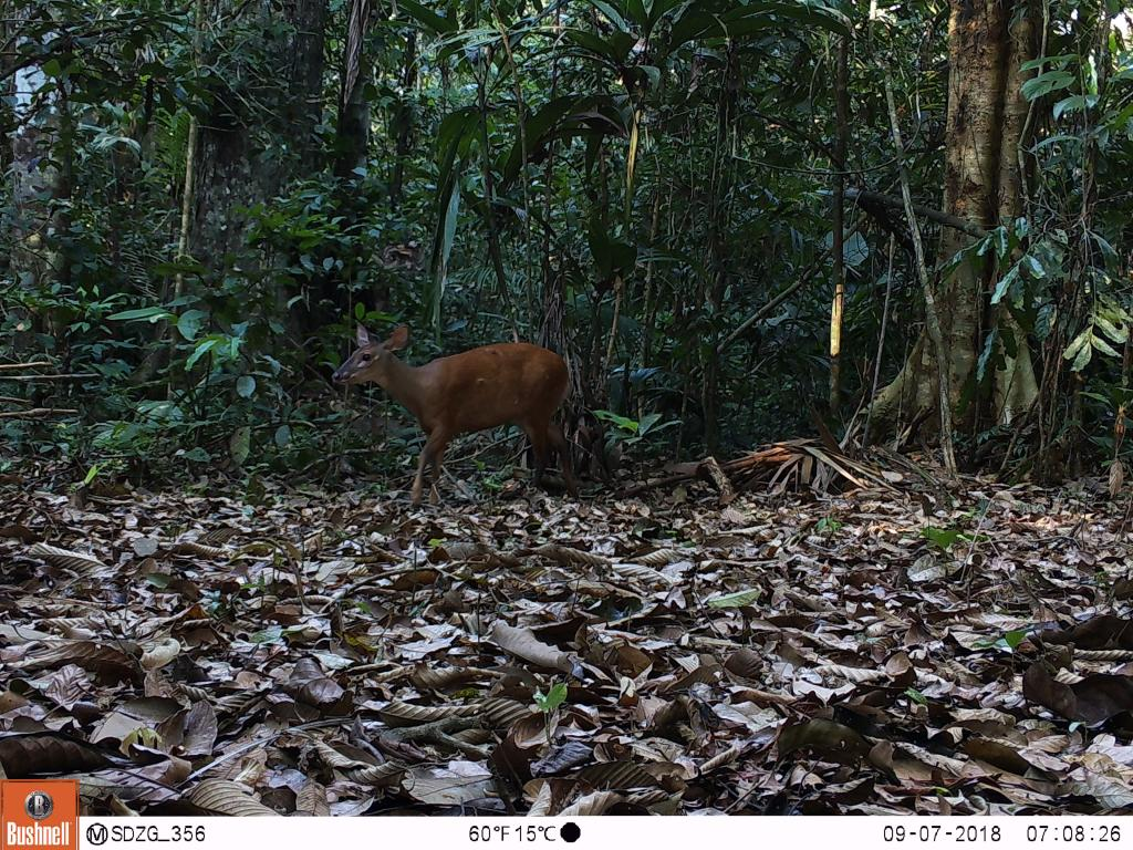 The red brocked deer (Mazama ameriana) is one of two brocket deer species common throughout the Amazon.