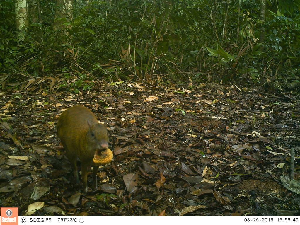 A brown agouti (Dasyprocta punctate) carrying a fruit. The brown agouti is the most important seed disperser for the Brazil nut tree.