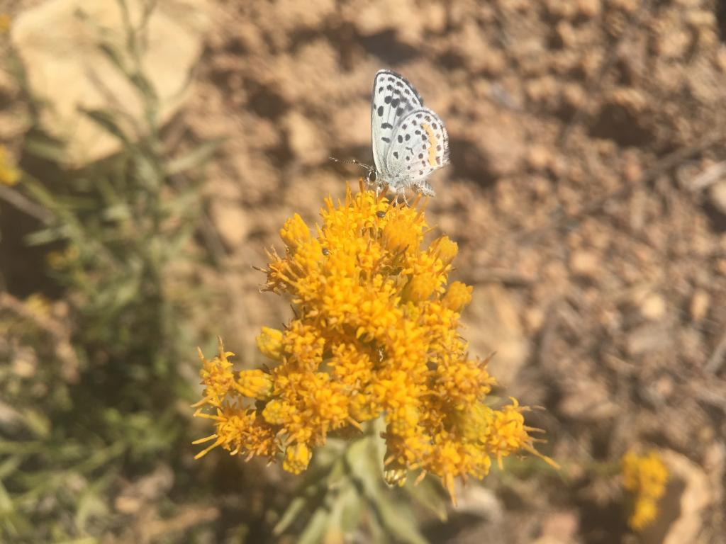 Butterfly pollinating a native San Diego shrub, Palmer's goldenbush (Ericameria palmeri). Photo credit: Stacy Anderson