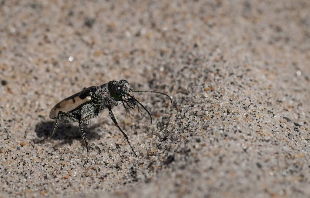 Moving at surprisingly high speed across the sand (requiring much patience to photograph),tiger beetles are easy to overlook. (Photo by Elena Oey)