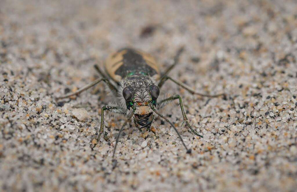 With their large eyes, prominent mandibles, and long legs, tiger beetles are formidable predators like their feline namesake. (Photo by Elena Oey)