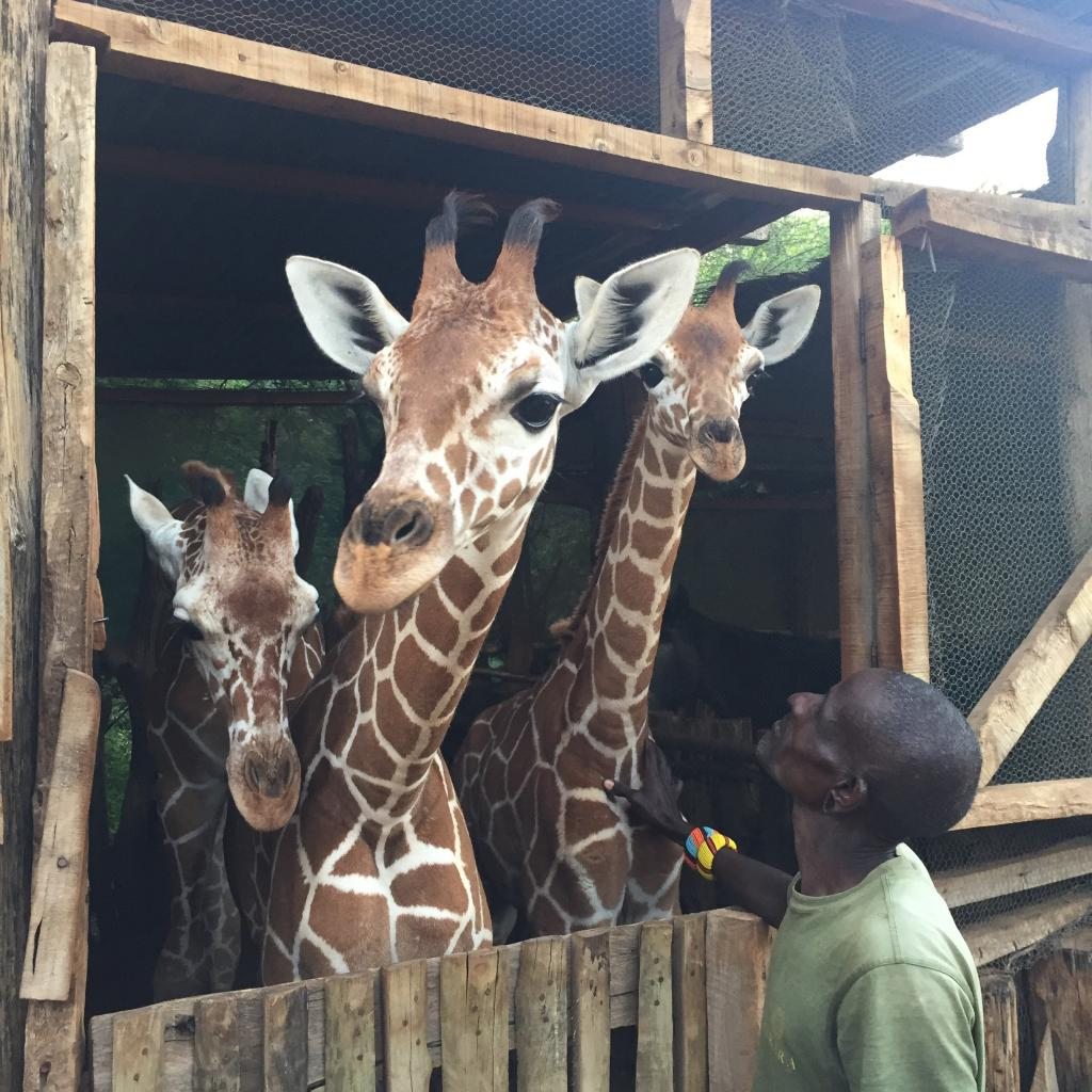 "Lekupanii, the ""Orphan Whisperer"" greets Lekiji, Reteti, and Fupi at the Sarara stables. Photo: Kirstie Ruppert"
