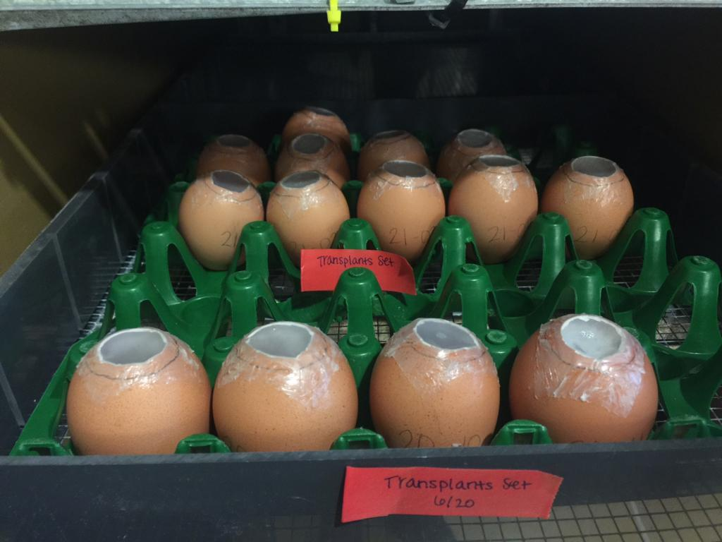 Rows of eggs with transplants ready for incubation.