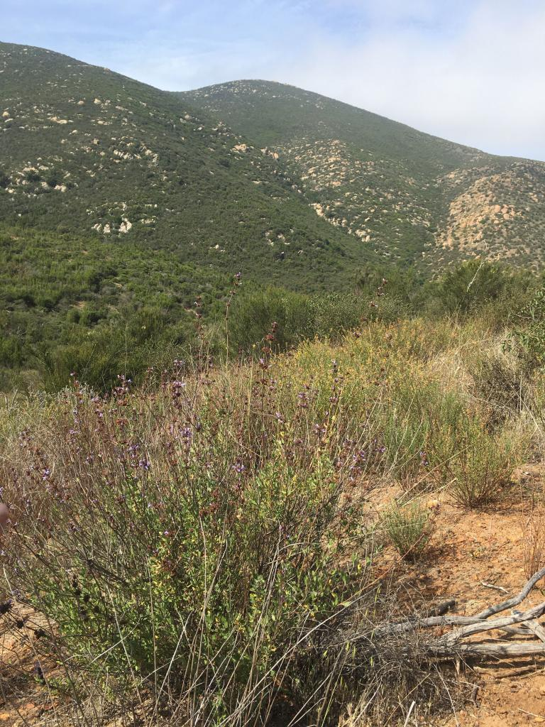 Munz's sage is found in remote, undeveloped chaparral habitat in southern San Diego County and northern Baja.
