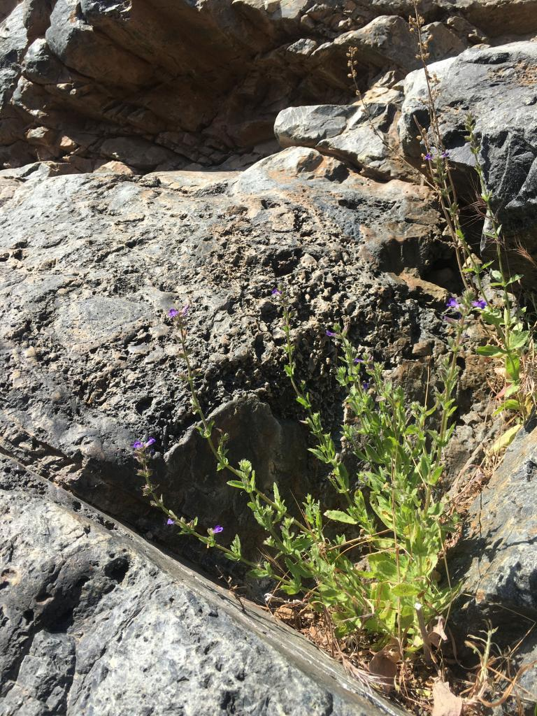 Stemodia durantifolia grows out of cracks in rock faces along our river washes.