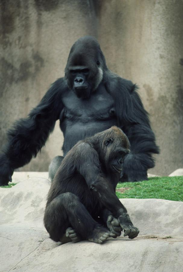 Kamilah's genome sequence has contributed to studies showing that rapid evolution of taste receptors has taken place in gorillas.