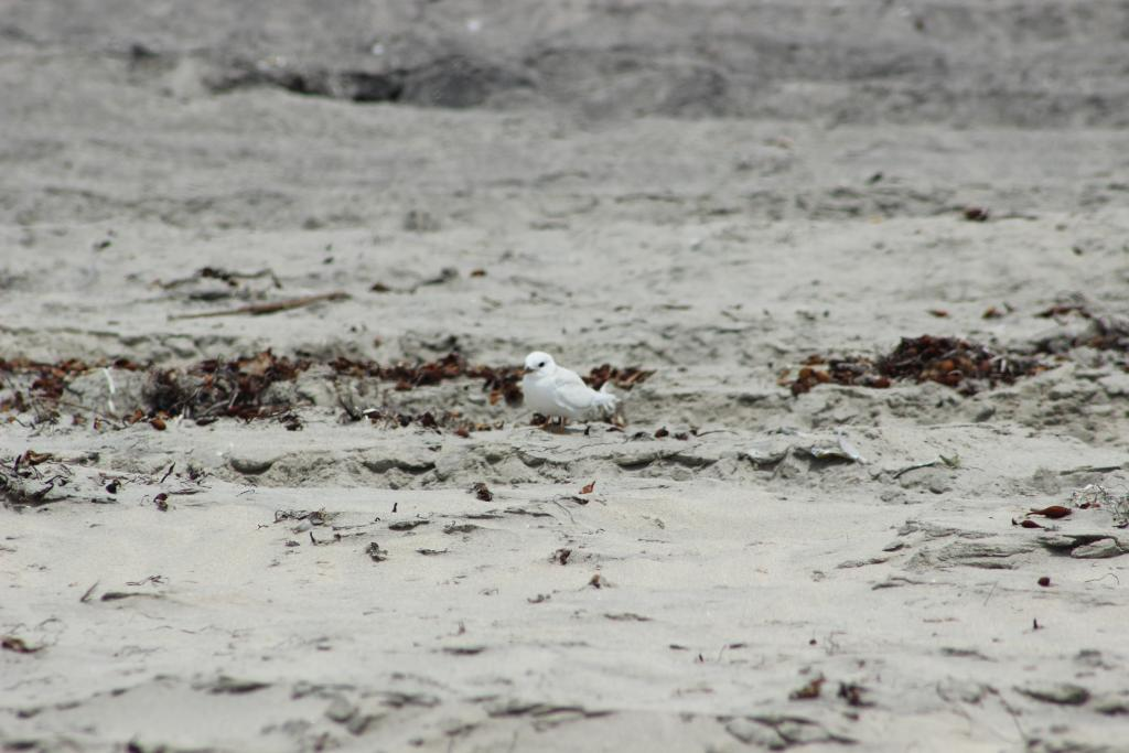 Leucistic California least tern fledgling. Photo by Katrina Murbock.