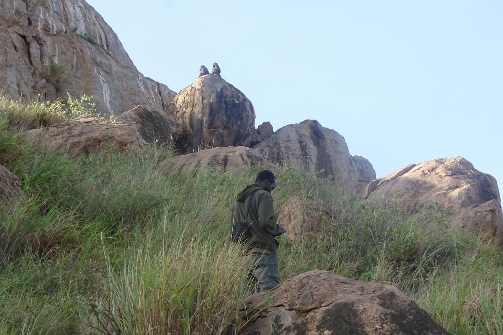 Lenguya observes baboons socially grooming on Loisaba Conservancy, Kenya during focal behavior surveys.