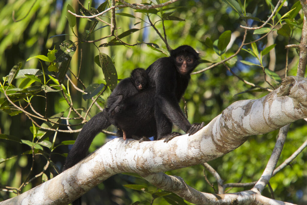 Spider monkeys are an important species to the Matsiguenka.