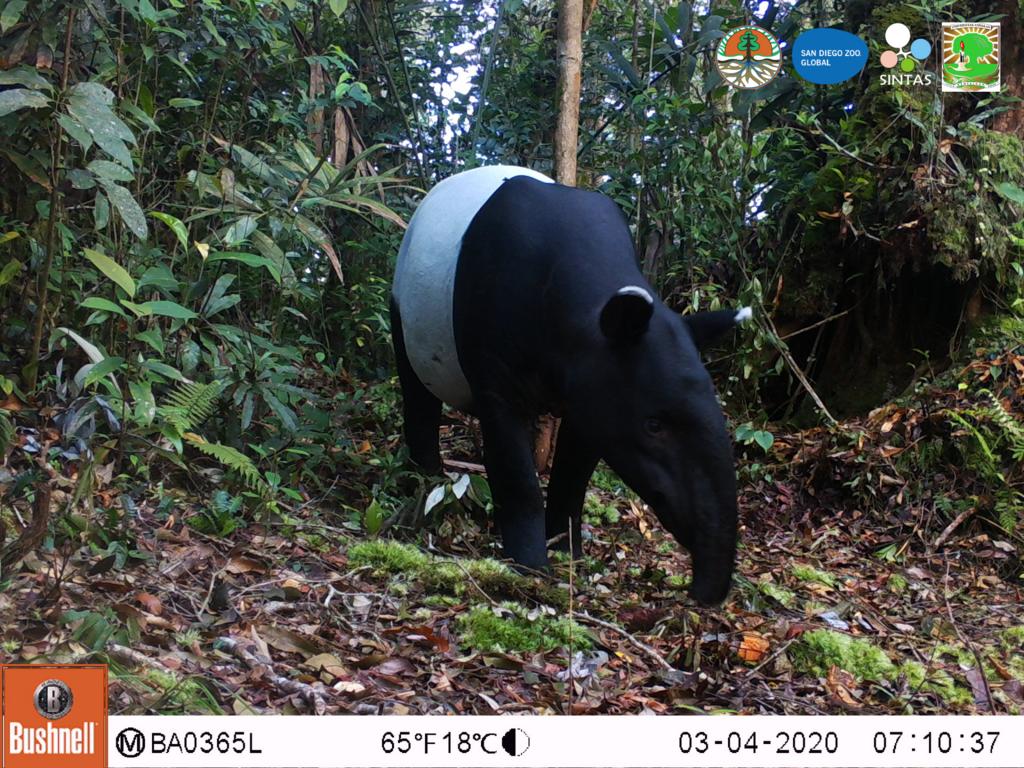 Malayan tapir.