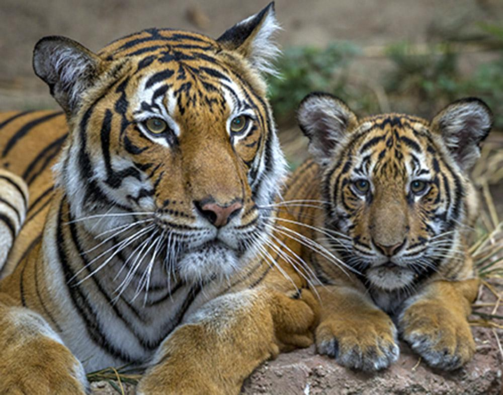 San Diego Zoo Global is dedicated to helping to preserve—physically and genetically—endangered species like these Malayan tigers.