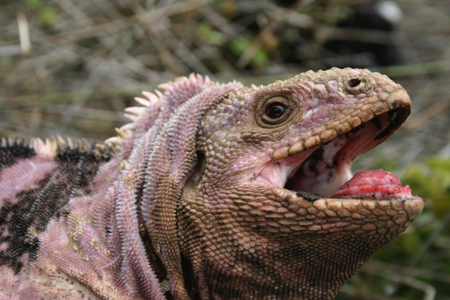 Male Pink Iguana, Conolophus marthae (photo by G. Colosimo).