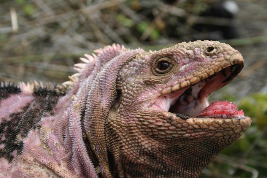 Male Pink Iguana,Conolophus marthae(photo by G. Colosimo).