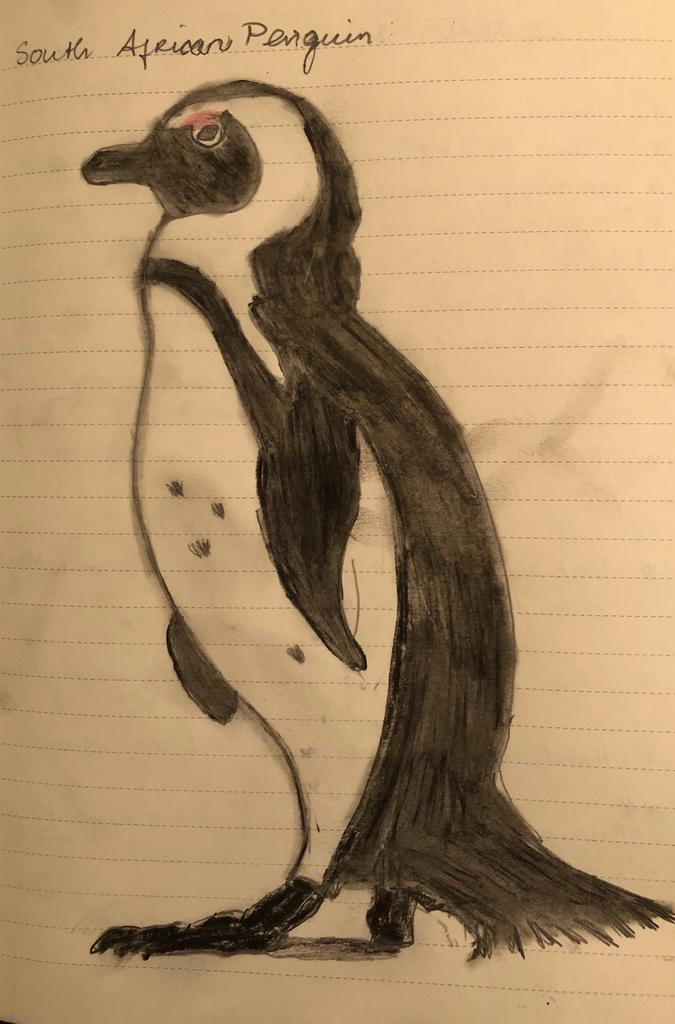 The author's sketch of a South African penguin.