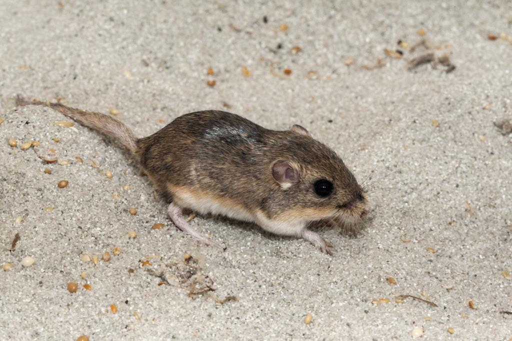 A beautiful Pacific pocket mouse.