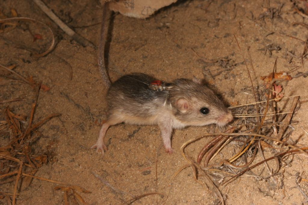 The little rodents are monitored after release to document survival and reproductive rates.