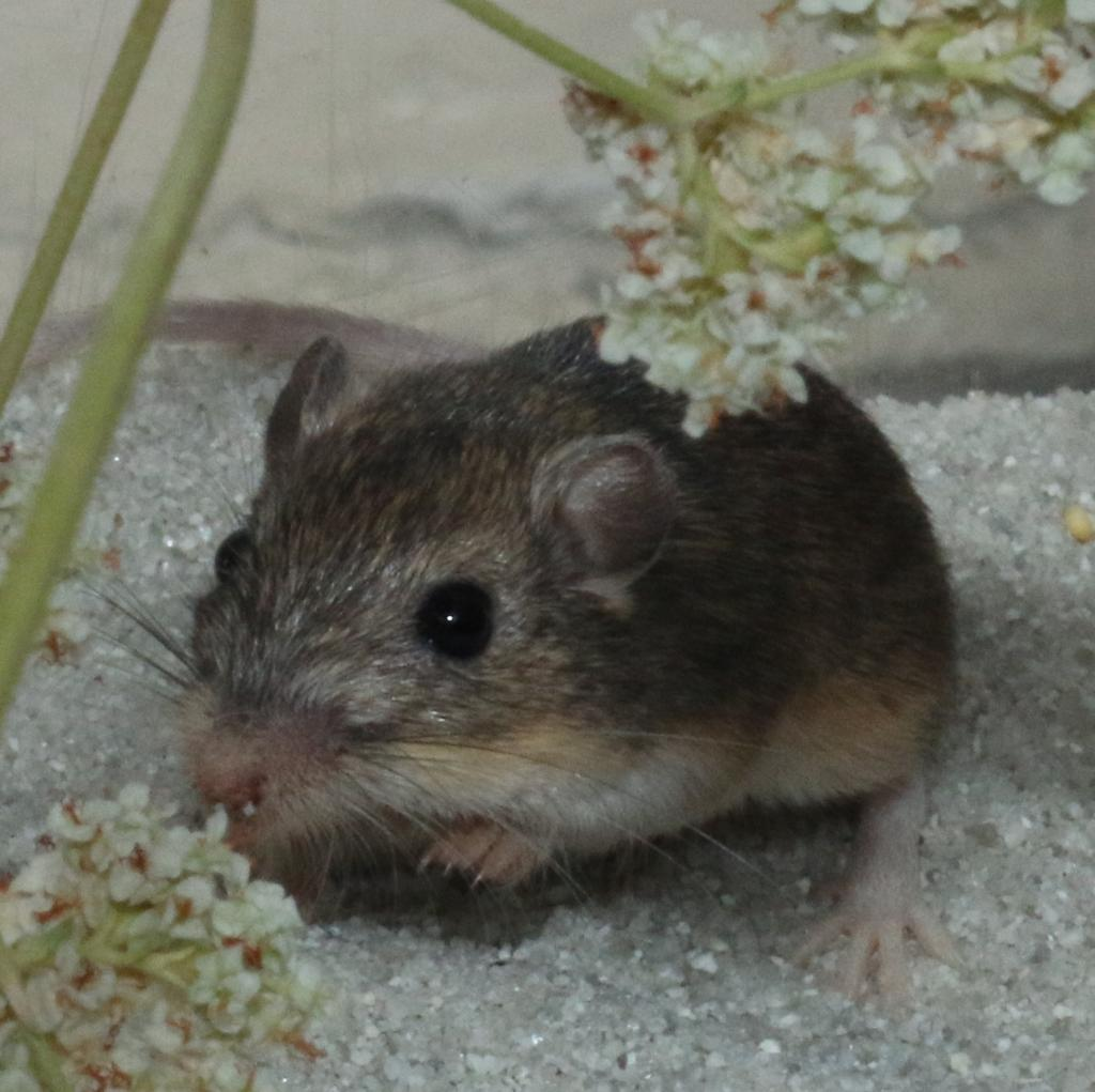 An adult Pacific pocket mouse, the smallest subspecies of little pocket mouse. Photo credit: D. Shier