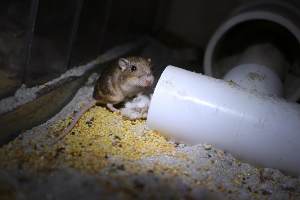 A Pacific pocket mouse captively bred for reintroduction into extirpated areas of its historic range in coastal southern California. Photo credit: D. Clark