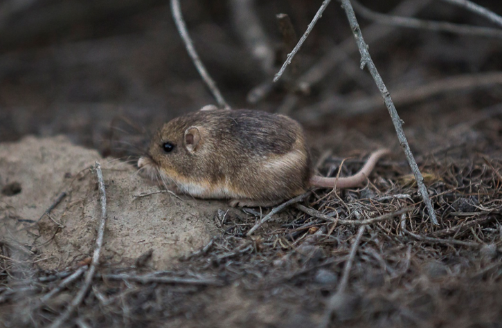 What role do microbes play in reintroduction success in the pacific pocket mouse? Photo: Shauna King